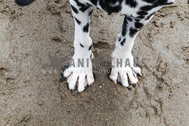 front paws of dalmatian standing in wet sand