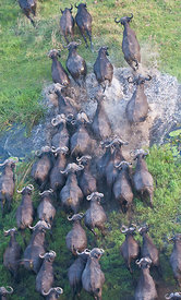 Cape Buffalo (Syncerus caffer) aerial view of herd crossing a water channel in the Okavango Delta swamp Botswana.