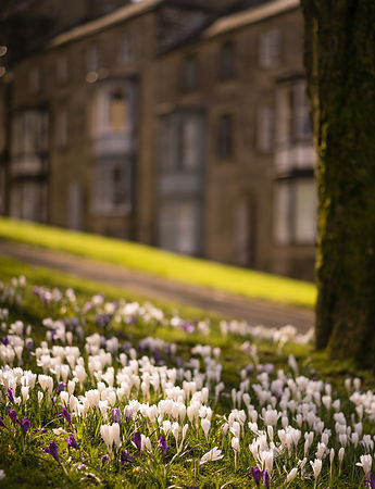 Crocuses in Buxton