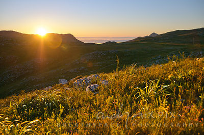 Sun setting behind a mountain ridge, restios and other fynbos plants in foreground glowing in the light (backlit), green, veg...