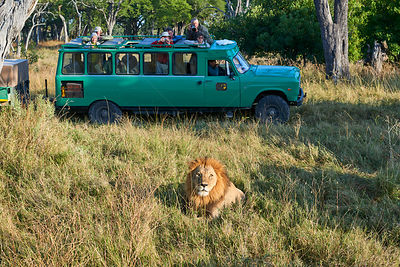 Tourists in car observing male lion (Panthera leo), Moremi National Park, Okavango delta, Botswana, Southern Africa