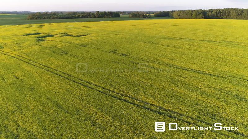 Aerial drone shot of rapeseed and green fields