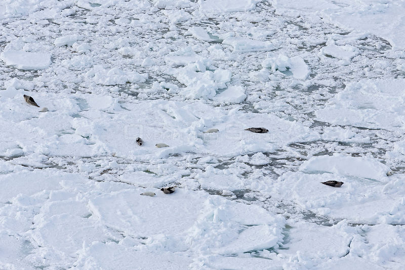 Aerial view of Harp seal (Phoca groenlandicus) females and pups on sea ice, Magdalen Islands, Gulf of St Lawrence, Quebec, Ca...