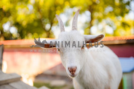 white goat with horns looking at viewer
