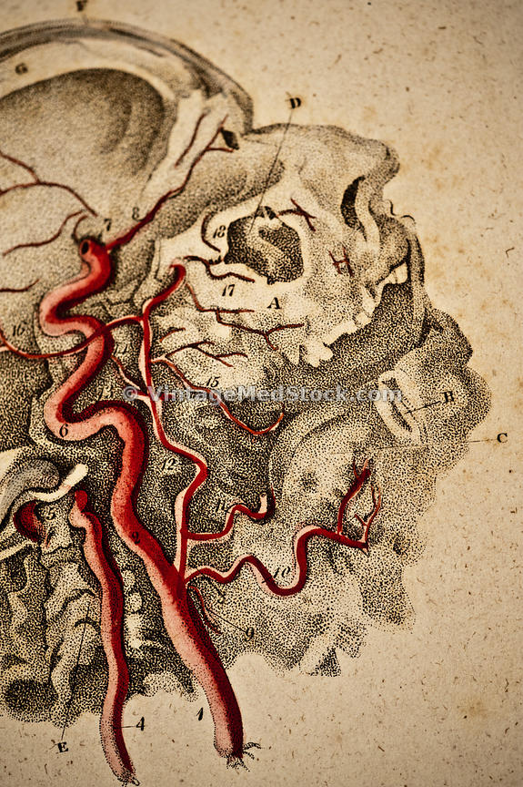 Blood Vessels in Neck and Head