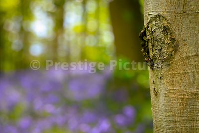 Bluebell wood in Spring