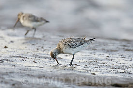 Bar-tailed Godwit (Limosa lapponica)  Norfolk winter