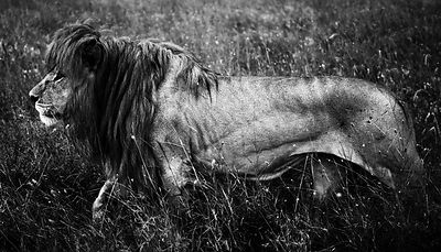 06180-Lion_walking_through_the_grass_Tanzania_2018_Laurent_Baheux