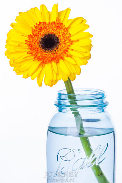 Leaning Yellow Daisy in Jar