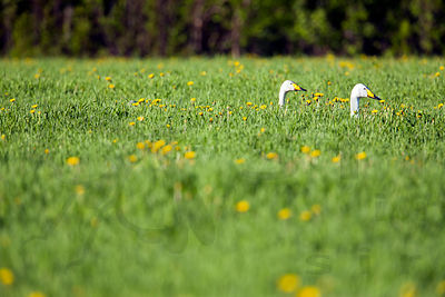 Whooper Swans Enjoying Fresh Salad