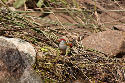 Red-browned Finches foraging for food