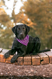 pretty labrador wearing bandana in the park