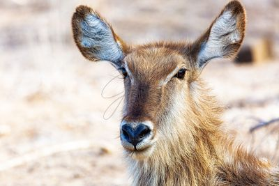 Closeup Female Waterbuck in Africa