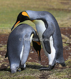 Pair of King Penguins (Aptenodytes patagonicus) displaying, Volunteer Point, East Falkland, Falkland Islands