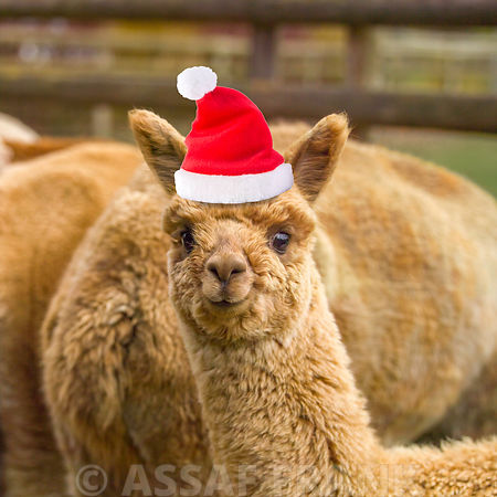 Alpaca with Santa hat