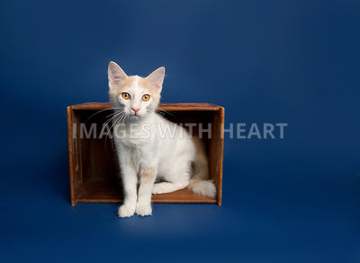 White and light orange kitten sitting in an orange wooden box on its side
