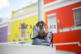 dappled dachshund sitting in grey bag on a wall
