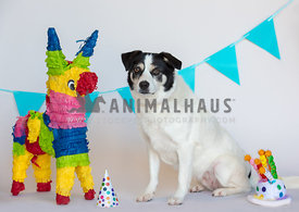 white dog with black face sitting next to birthday party decorations