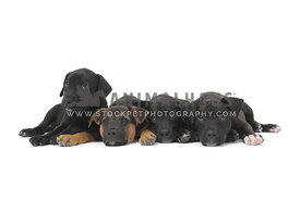 Four mixed breed puppies lying on white background