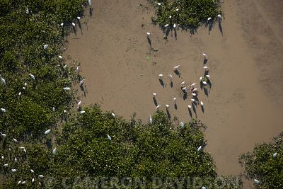 Aerial Photograph of Spoonbills and Egrets, Louisiana, USA