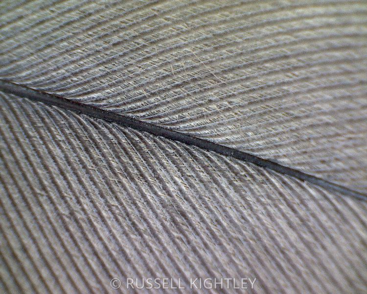 FEATHER: extreme close-up of a cockatiel feather #2