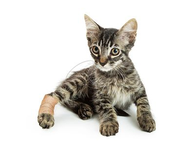 Tabby Kitten With Injured leg