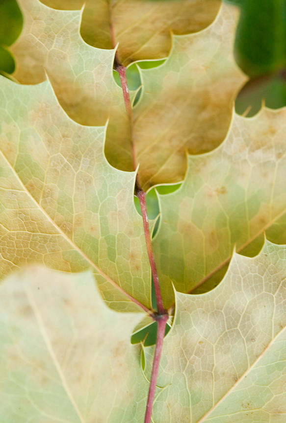 leaf pattern with scalloped edges