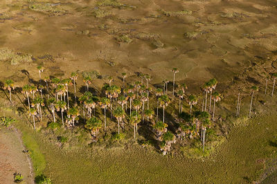 Aerial view of Mauritia Palms (Mauritia flexuosa) growing on the Savannah grasslands, Rupununi, Guyana, December 2009