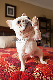 french bulldog or frenchie sitting on bed with red comforter giving paw or high five