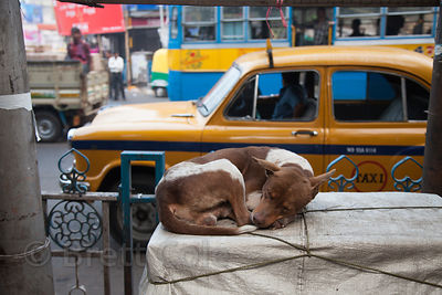 A stray dog rests on a crate in the Shyambazar area of Kolkata, India.