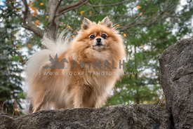 Looking up at a small Pomeranian fluffy lap dog on a rock in the forest.