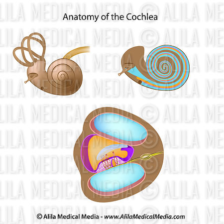 Anatomy of the cochlea, unlabeled.