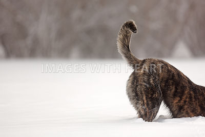 Large brindle dog digging in snow