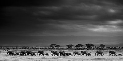 9263-Elephants_across_the_african_plain_Kenya_2013_Laurent_Baheux