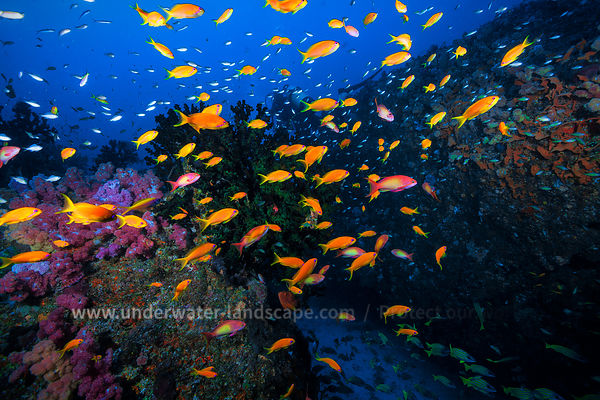Anthias au Mozambique