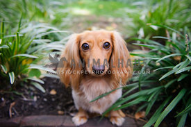dachsund dog looking at viewer wth big eyes