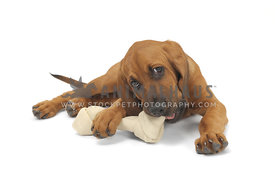 Bloodhound chewing on bone against white background