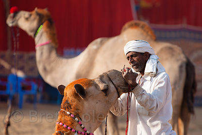 A camel herder tends to a camel at the Pushkar Camel Mela, Pushkar, India.