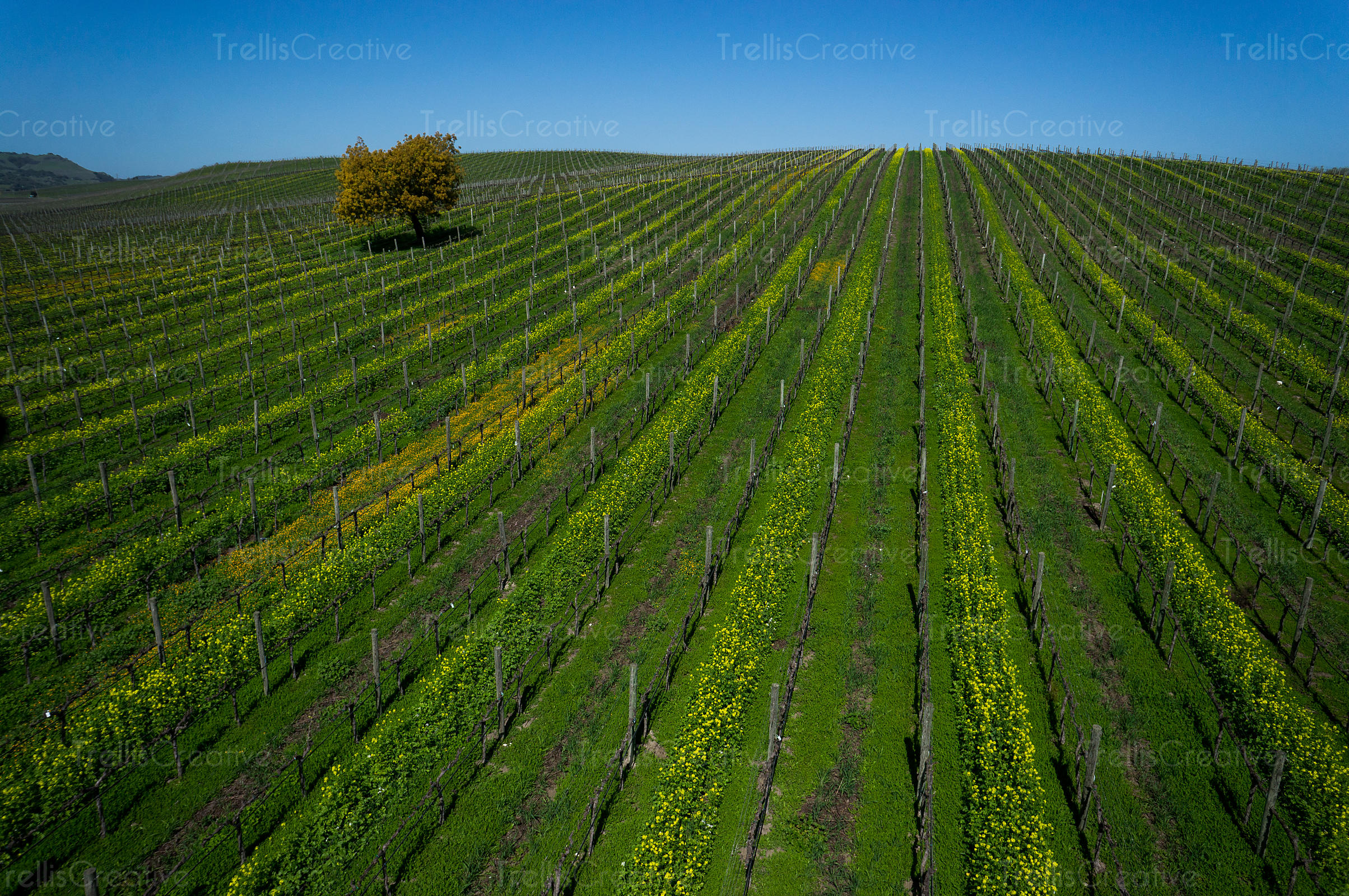 Mustard flowers growing in between the tresllised vines, aerial view
