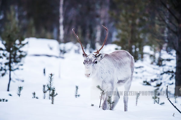 Reindeer walking in the forest of Inari, Finnish Lapland