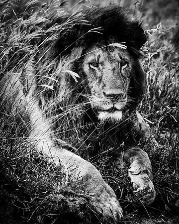07343-Lion_lying_in_the_grass_Tanzania_2018_Laurent_Baheux