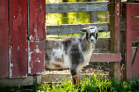 goat surrounded by red fence looking at camera