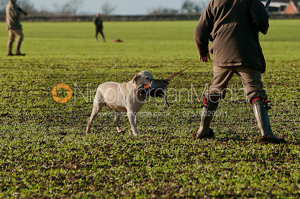 gun dogs on a game shoot in Leicestershire