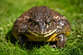 african bullfrog sitting on grass