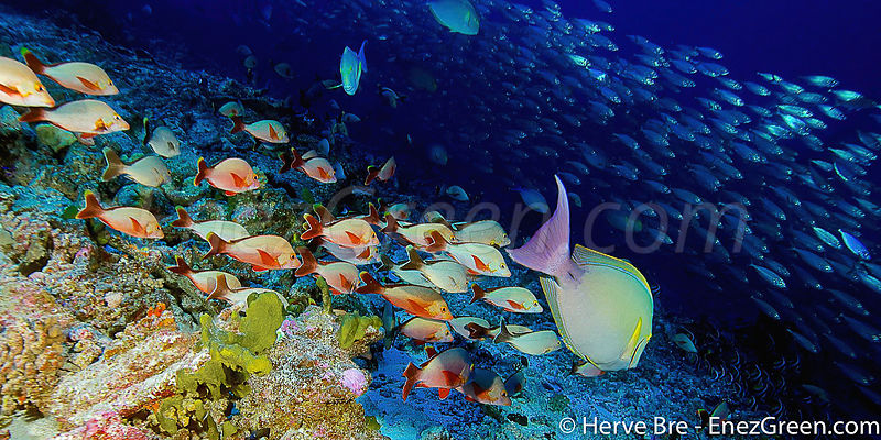 Diving with Rangiroa's fauna