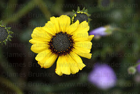 Coronilla ( Encelia canescens ) flower
