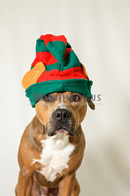 Sable Amstaff on white background wearing christmas elf hat