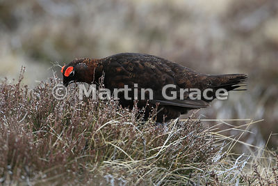 Male Red Grouse (Lagopus lagopus scotica) feeding in heather (Calluna vulgaris), Lochindorb, Scottish Highlands