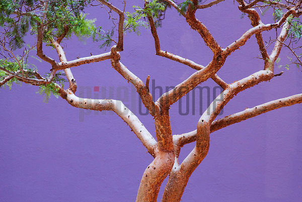 Tree Against Purple Wall