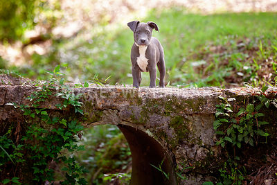 Puppy standing on bridge looking at camera